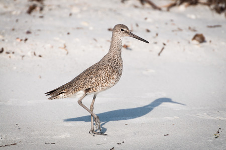 Willet at the nesting grounds on Marco Island, Florida Stock Photo