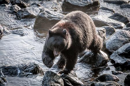 Black bear walking on rocks in a creek in Ketchikan, Alaska Stok Fotoğraf
