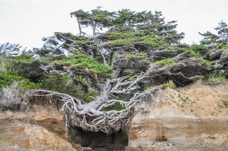 Kalaloch Tree of Life in Washington state Stok Fotoğraf - 112284014