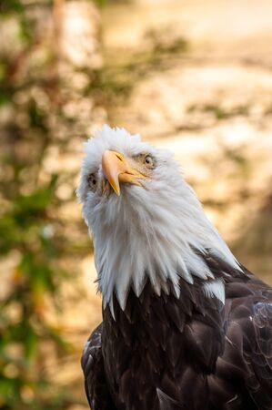 Head and torso of an bold eagle looking down