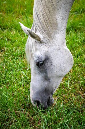 White horse grazing on grass  Reklamní fotografie
