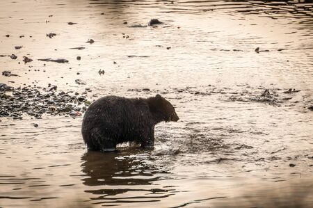 Brown bear wading in Eagle Creek in Ketchikan, Alaska