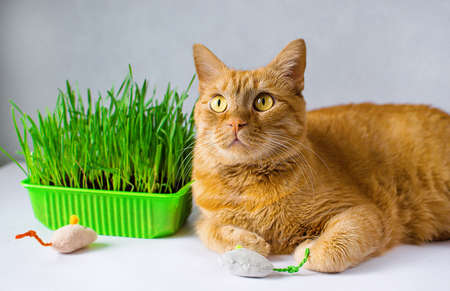 Ginger, red cat eat green grass. green juicy grass for cats, sprouted oats useful for cats. Veterinary medicine, veterinary medicine, treating pets