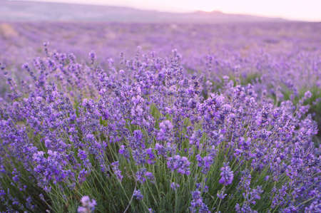 Lavender field at sunrise, close up. Lavender oil for aromatherapy, relaxation. Blurred background. Фото со стока