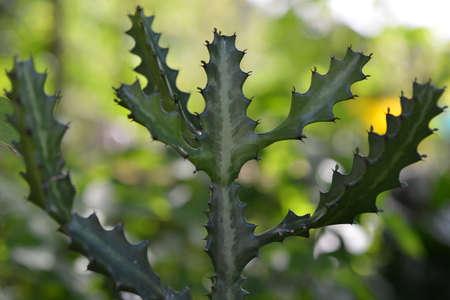 antler Cactus