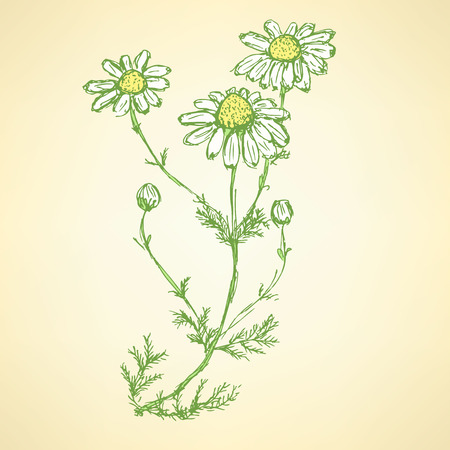 Daisy flower in sketch style, vector background Vector