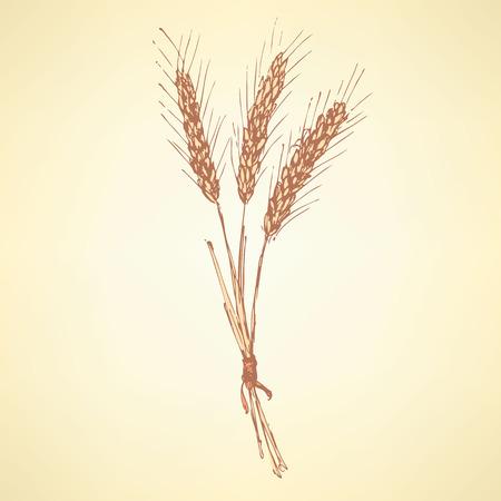 bran: Sketch wheat bran in vintage style, vector