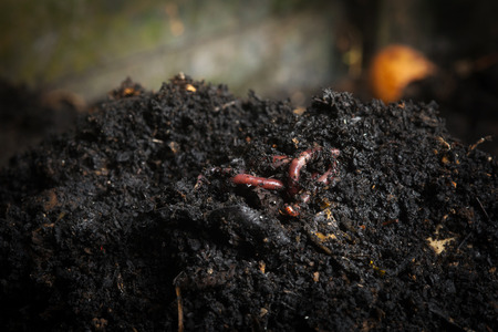 vermiculture: Californian red worm on top of compost pile. Redworms used for vermicomposting or making compost.