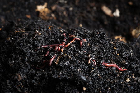 Californian red worm on top of compost pile. Redworms used for vermicomposting or making compost.