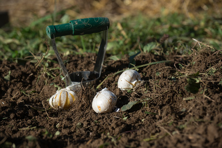 flower bulb: Planting bulbs with flower bulb planter outdoors in garden. Use of garden tools. Stock Photo