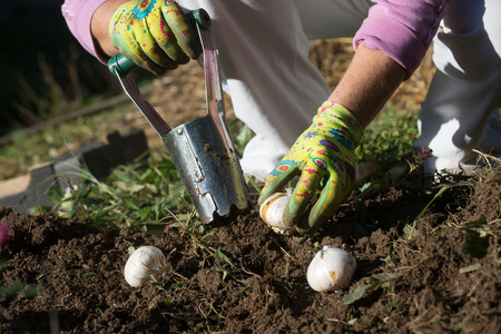 Planting bulbs with flower bulb planter outdoors in garden. Use of garden tools. Stockfoto