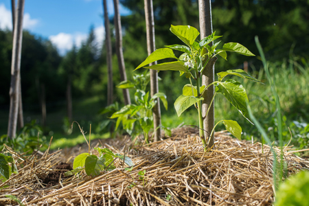 Young capsicum plants in the garden covered with straw mulch to protect from drying out and weed control.