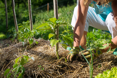 Covering young capsicum plants with straw mulch to protect from drying out quickly ant to control weed in the garden.
