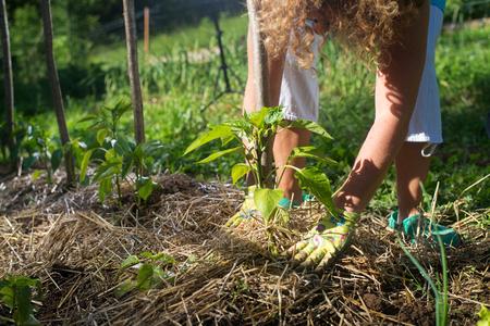 Junge Paprika-Pflanzen mit Strohmulch abdecken, um sie vor dem Austrocknen zu schützen und Unkraut im Garten zu bekämpfen. Verwendung von Mulch zur Unkrautbekämpfung, Wasserretention, um die Wurzeln im Winter warm und im Sommer kühl zu halten. Standard-Bild