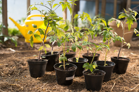 Young tomato plants in pots ready to be planted inside greenhouse.
