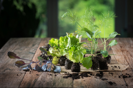 Young plants on rustic wooden background. Lettuce, cabbage, fennel, leek seedlings.