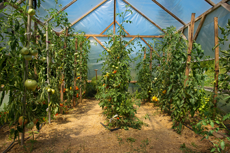 Tomatoes planted in homemade greenhouse.