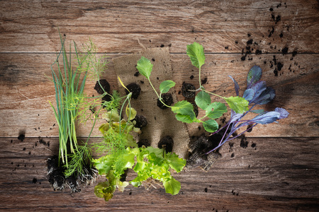 Young plants on rustic wooden background. Top view. Lettuce, cabbage, fennel, leek seedlings.