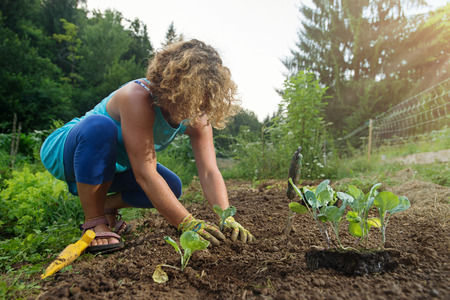 Woman planting young cabbage plants in garden.
