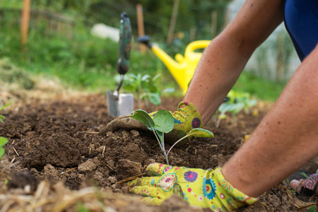 Gardener's hands planting cabbage seedlins in garden. Homegrown food, vegetable, self-sufficient home, sustainable household concept.