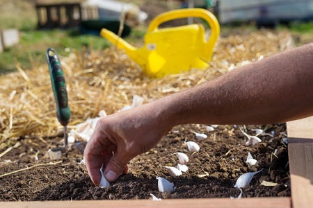 Close up of hand planting garlic bulbs in garden. Stock Photo
