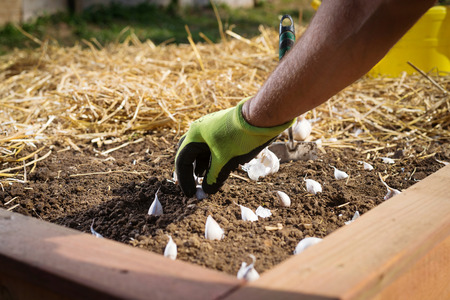 Close up of gloved gardeners hand planting garlic bulbs in wooden gaden raised bed covered in straw mulch.