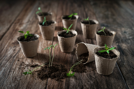 Planting young tomato seedlings in peat pots on wooden background. Agriculture, garden, homegrown food, vegetables, self-sufficient home, sustainable household concept. Banco de Imagens
