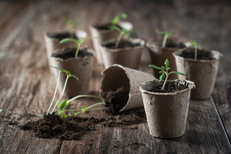 Planting young tomato seedlings in peat pots on wooden background. Agriculture, garden, homegrown food, vegetables, self-sufficient home, sustainable household concept. 스톡 콘텐츠