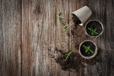 Planting young tomato seedlings in peat pots on wooden background. Agriculture, garden, homegrown food, vegetables, self-sufficient home, sustainable household concept. Copy space Banco de Imagens