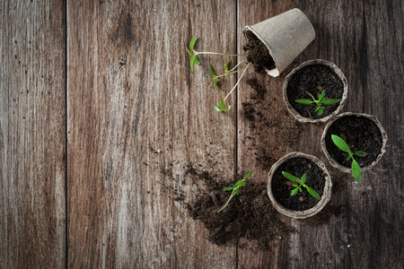 Planting young tomato seedlings in peat pots on wooden background. Agriculture, garden, homegrown food, vegetables, self-sufficient home, sustainable household concept. Copy space 스톡 콘텐츠