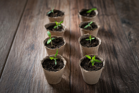 Young seedlings planted in peat pots. 스톡 콘텐츠