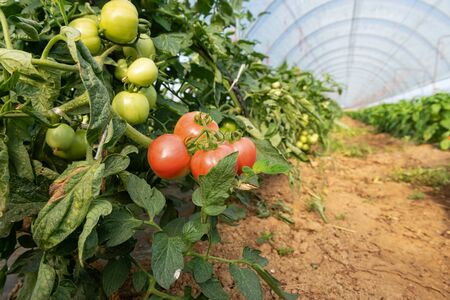Freshy tomato plants growing inside organic greenhouse.