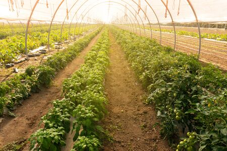 Rows of tomato and pepper plants growing inside big industrial greenhouse. Industrial agriculture.
