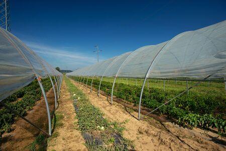 Vegetable plants growing inside big industrial green house.