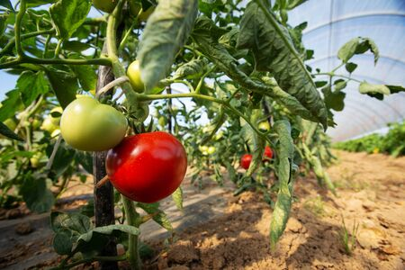 Red tomato next to unripe growing inside big industrial greenhouse. Industrial agriculture.