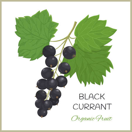 Vector graphic illustration with Black Currant berries and leaves on a white background Vektorgrafik