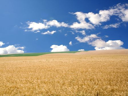 mellowness: field of yellow and green wheat and cloud in the sky Stock Photo