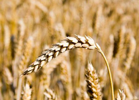 mach: a whery mach gold wheat Stock Photo