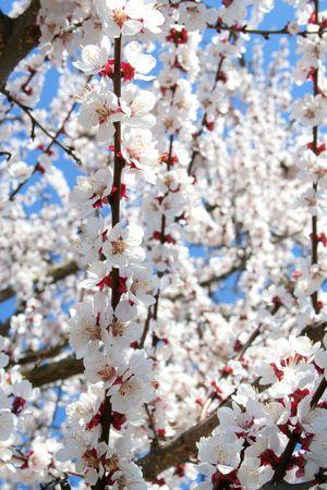 wonderful  flowering tree on the white photo