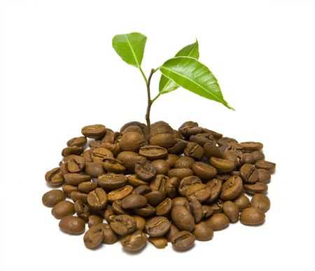 coffee tree: Young plant on the white backgrounds