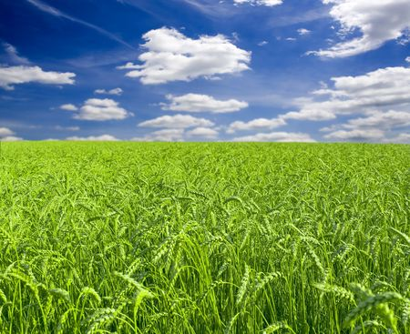 a lot of green wheat under red sky Stock Photo - 6619574