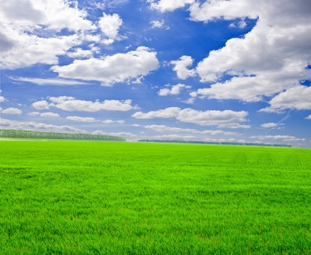 a lot of green wheat under blue sky Stock Photo - 7564322