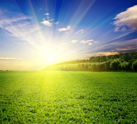 a lot of green wheat under blue sky Stock Photo - 7897347