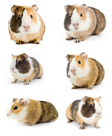 cute hamster: guinea