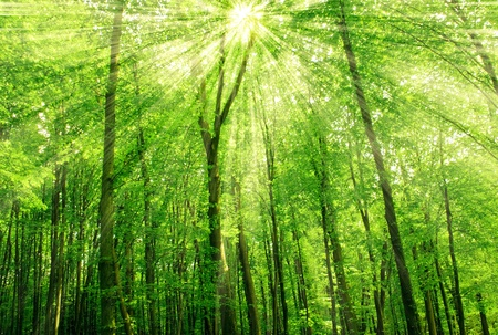 sunlight in trees of green summer forest photo