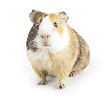 brown guinea pig on white isolated photo