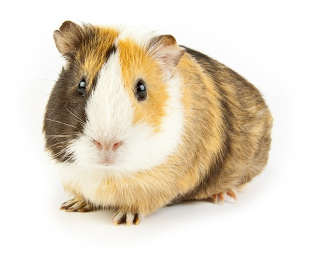 hamster: brown guinea pig on white isolated