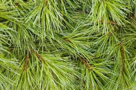 Hintergrund der Nadel grünen Baum