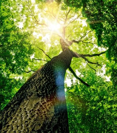 森林木。自然の緑の木の日光の背景。 写真素材