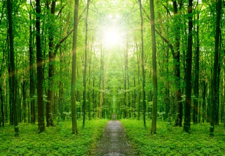 deciduous woodland: nature tree . pathway in the forest with sunlight backgrounds.